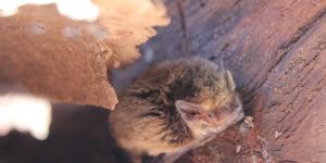 pipistrelle pygmée